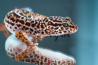 Leopard gecko on reflecting background