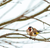 Goldfinch sitting on the twig of a tree