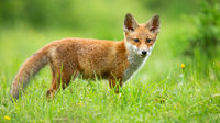 Red fox cub looking to the camera on sunny meadow in summer