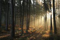 Autumn coniferous forest at dawn