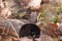 bank vole (Myodes glareolus; formerly Clethrionomys glareolus) Germany