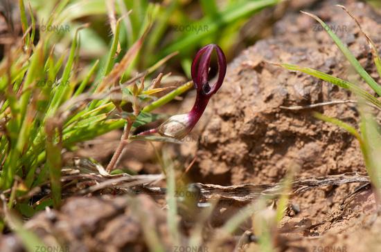 Rare bulbus flower , Ceropegia bulbosa, Satara, Maharashtra, India
