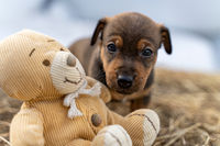 One month old brown Jack Russell stands on a pack of hay. The puppy looks curiously at a teddy bear. Out for the first time, Animal themes, Selective Focus, Blur