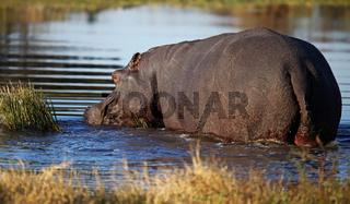 Hippo im Moremi Game Reserve, Botswana, Hippopotamus amphibius, Botsuana