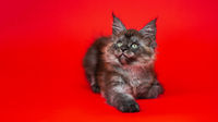 Fluffy pretty female Coon Cat of color black smoke lying down on red background and looking up
