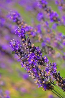 Lavendel - lavender 58