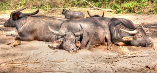 sleeping water buffalo