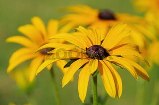Sonnenhut - black-eyed Susan 13