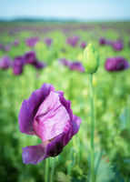 Purple poppys on an agricultural field