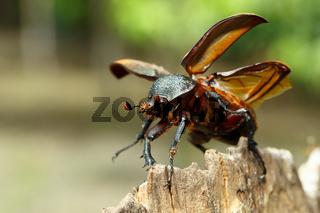 Rhinoceros beetle in Tangkoko rainforest.