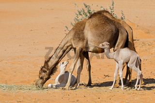 Camels with young calves on a desert sand dune