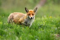 Red fox looking on sunny meadow with green grass in summertime nature.