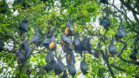 Many Indian flying fox