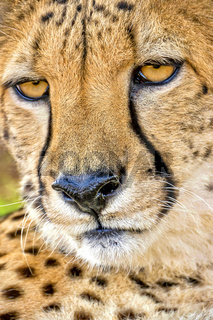 Cheetah, Wildlife Reserve, South Africa