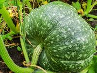 Green pumpkin grows in the garden, the concept of growing organic vegetables