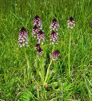 Brand-Knabenkraut, Neotinea ustulata, burnt orchid