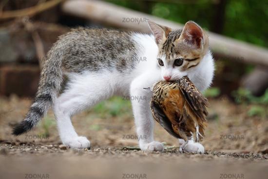 Domestic cat, Felis catus hunting on Rain Quail, Coturnix coromandelica, Satara, Maharashtra, India