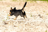 Jack Russell Terrier walks on yellow sand. The young brown-black dog is playing and having fun. Seen from behind during the jump. Sand flies around
