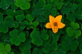 Gelbe Blüte zwischen Kleebelättern
