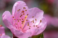 Peach tree flowers at spring