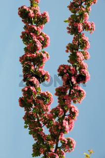 Crataegus laevigata Pauls Scarlet, Rotdorn, Hawthorn