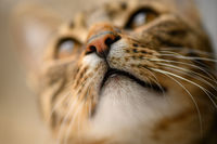 Young european shorthair cat's head, selective focus at left eye