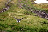Brunnich's guillemot (Uria lomvia) flying away