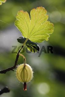 durchleuchtete Stachelbeere mit Blatt am Zweig