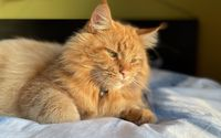 red maine coon cat lying on the bed