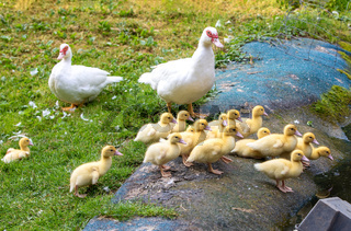 Cute little ducklings in springtime