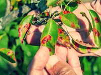 Red dots disease of pear leaves. Puccinia recondita spots. Gardener shows