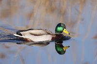 mallard (Anas platyrhynchos)  dabbling duck  Federsee, Baden-Wuerttemberg, Germany