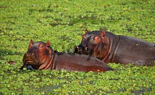 Hippos im South Luangwa Nationalpark, Sambia; Hippos at South Luangwa, Zambia