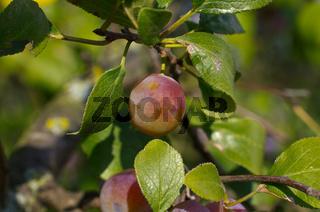 Zibarte (Prunus) - Prune