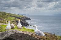 Seagull sitting on rocks and singing, beautiful coastline of Wild Atlantic Way in background