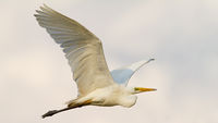 Great egret flying in the air in sunny environment