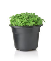 Front view of microgreen in black plastic pot