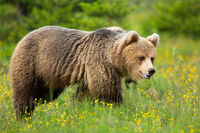 Brown bear looking on flower meadow in summer nature