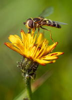 Hoverflies, flower flies or syrphid flies, insect family Syrphidae.They disguise themselves as dangerous insects wasps and bees.The adults of many species feed mainly on nectar and pollen flowers.