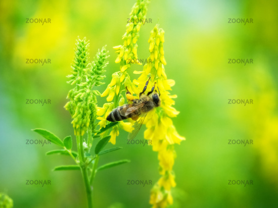 Hony bee flies around the flowers
