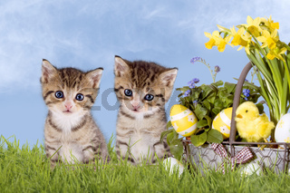 Cats, Easter, with daffodils on grass