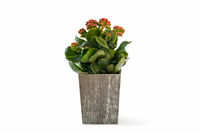 kalanchoe plant in wooden box isolated