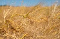 Close up image of a corn field