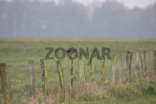 Uferschnepfe, Limosa limosa, black-tailed godwit