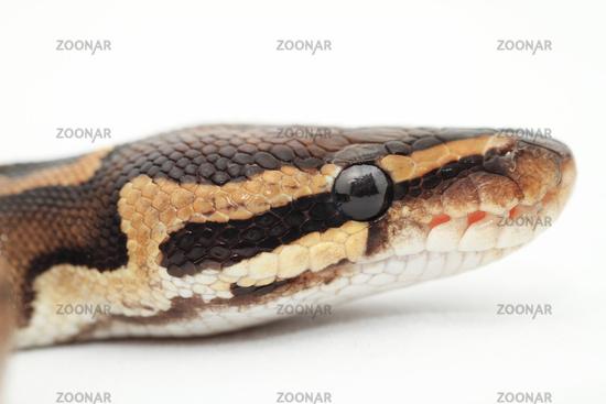 Ball Python close up (Python Regius)