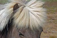 Der Kopf ein Islandpferds