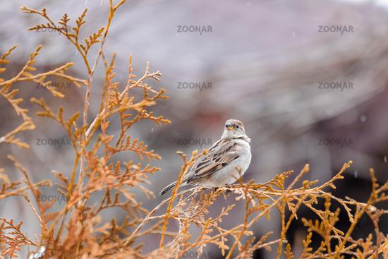 female of small beautiful bird house sparrow