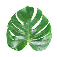 Green leaf of houseplant monstera