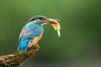 Beautiful common kingfisher with colorful feathers holding a fish