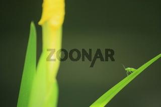kleines grünes Insekt auf schmalem Blatt